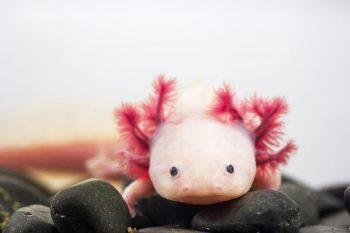 Axolotlul mexican, speranță pentru regenerare